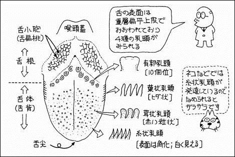 舌の解剖学