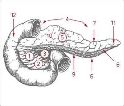 すい臓の形の分類(膵頭/膵体/膵尾)と大きさの解剖学