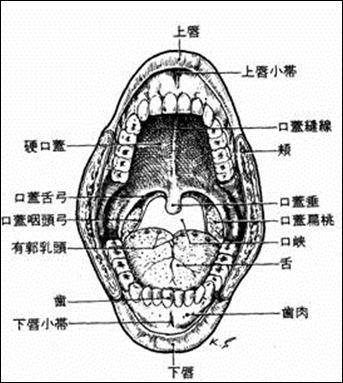 口から食道までの解剖学