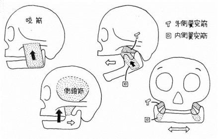 咀しゃくに働く筋と作用の一覧表