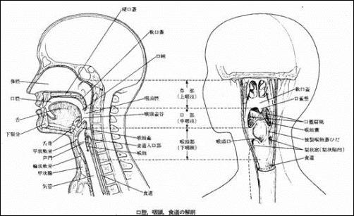 咽頭の機能と長さなどの解剖学を看護学生用まとめ