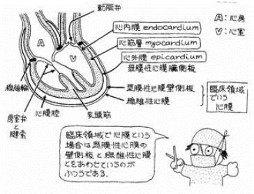心筋・心臓壁の層の解剖学的特徴と冠状動脈・静脈
