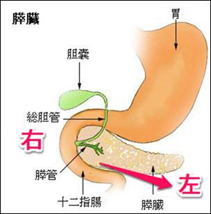 膵臓の解剖学と位置関係と形のまとめ